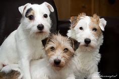 parson russel terriers