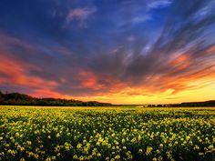 "Sunset photo landscape print - canola field - nature photography - wall art - ""The Luminous Landscape VIII."" by Zsolt Zsigmond - SKU0090"