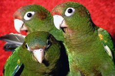 Rose headed parakeets Parakeet Bird, Parrot Bird, Parakeets, Parrots, Conure, Pet Store, Beautiful Birds, Pet Birds, Wallpaper