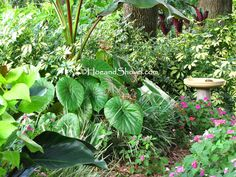 Round shape of Begonia 'Rotudifolia' leaves, at base of Red Banana, are accentuade by the magenta hued veining they sport. Hoe and Shovel: Large Leaves::Simply Exotic