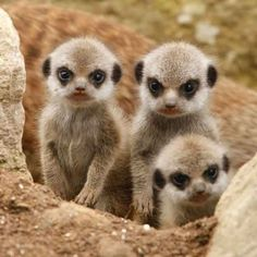 Meerkat babies who don't think much of the photographer.