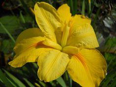 LA Laura Louise Bearded Iris, Water Plants, Ponds, Plant Leaves, Yellow, Aquatic Plants, Water Feature