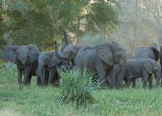 ´En Mozambique, la excolonia portuguesa que se independizó en 1975, los años pasados de guera civil han dejado una huella terrible en las poblaciones humanas, pero también en la de elefantes. Como resultado de la caza furtiva indiscriminada contra todo paquidermo que exhibiese marfil, un buen número