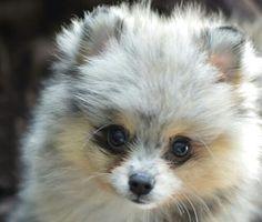 Blue Merle Pomeranian puppy dogs