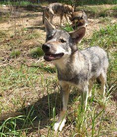 Wolfsnachwuchs im #Tierpark #Ueckermünde Foto: Simone Weirauch / NK #meckpomm #tiere #wolf #zoo