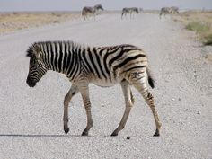 """Is That The Right Direction?"" Zebra cub, Namibia"