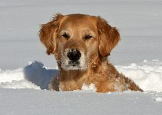 Snow golden