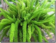 Asparagus Fern. Note from Starr: Love these. Repot when needed & you'll find dozens of baby bulbs hidden in the soil and roots.