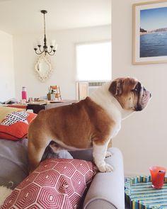 duncanthebulldog:It's Sunday and I'm raring to go! WorldofBulldog