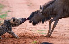 A wild dog bites a wildebeest's nose in a ferocious attack in Madikwe Game Reserve, South Africa. The wildebeest fought hard, but in the end did not have the stamina to overcome the wild dogs.