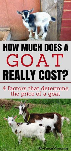 Want to know how much DOES a goat cost? Check out these 4 factors that determine the cost to buy a goat.