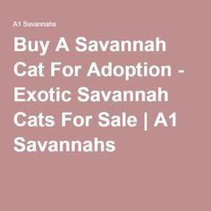Buy A Savannah Cat For Adoption - Exotic Savannah Cats For Sale | A1 Savannahs