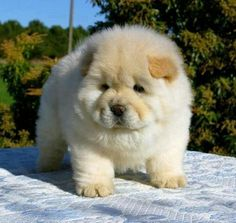 Chow Chow puppy MOM CAN I GET ONE