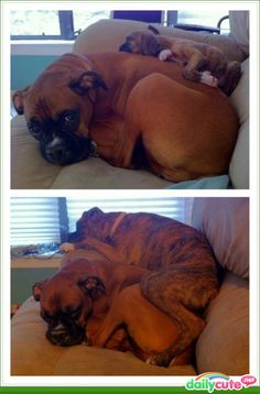 Too cute! Boxer puppy laying on momma, photos 3 months apart