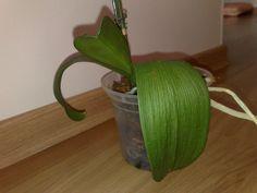 """Se você tem alguma Orquídea com folhas murchas e moles. Para tentar não perder a muda e também salvar a """"mãe"""", Quando temos uma orquídea que está em floração ou com muda devemos evitar o manuseio,"""