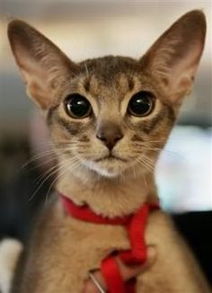 Abyssinian Cat Photo:  This Photo was uploaded by duffjoshua. Find other Abyssinian Cat pictures and photos or upload your own with Photobucket free imag...