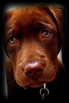 chocolate labs are the very best dogs :) this does not help my irrational desire to get izzy a sister