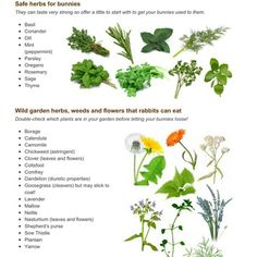 Herbs safe for rabbits