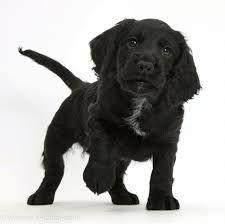 cocker spaniel dog Black Cocker Spaniel, Dogs, Animals, Animales, Animaux, Pet Dogs, Doggies, Animal, Animais