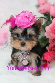 TEACUP YORKIE - Will have one in the future <333333