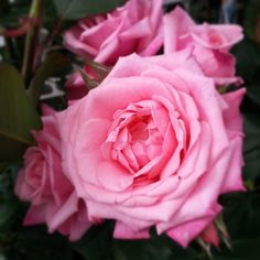Gene Boerner Rose - Also suffering from the same malady as my Peace and Memorial Roses (and I took this picture!)