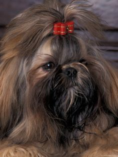 Shih Tzu.. (does this baby live with a groomer or WHAT?! -- gorgeous coat!)