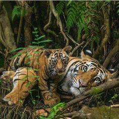 #animal #wild #wildlife #lion #lioness #bigcat #tiger #leopard #photography #instacat #cheetah #animallovers #cat #dog #kitty #kitten #puppy #husky #wolf #elephant #safari #eagle #shark #pet #king #Africa #jaguar #earth #cub #planet_of_animals
