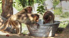 monkey by Ravish kanaganahalli
