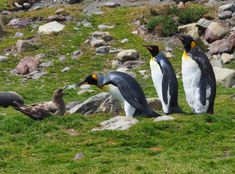 These King penguins came across a brown Skua. Here you can see them having a small conversation.