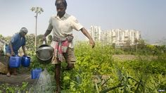 Global importance of urban agriculture 'underestimated' By Mark Kinver Environment reporter, BBC News Photo: Urban farmers, India (Image: IWMI)