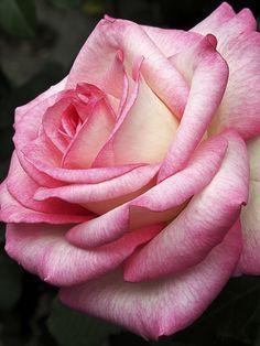 "✿⊱❥ °Rosa° ""Moonstone"" Rose"