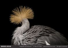 An East African crowned crane looking back (but not in anger)