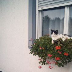and white cat Animals And Pets, Funny Animals, Cute Animals, Crazy Cat Lady, Crazy Cats, I Love Cats, Cool Cats, Animal Gato, Cat Window