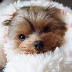 Yorkie Shout Outs — http://ift.tt/2pV7hlK