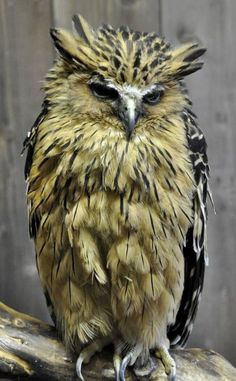 Buffy Fish Owl (Bubo Ketupu).