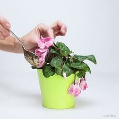 Bring Your Wilted Flowers Back To Life With Only Three Ingredients - The Plant Guide Cyclamen Care, Container Gardening, Gardening Tips, Wilted Flowers, Plant Guide, Horticulture, Houseplants, Vegetable Garden, Urban Gardening