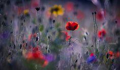 Poppies by VeronikaK / 500px