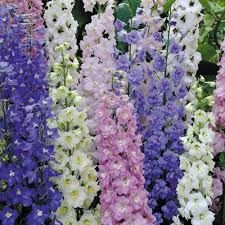Delphinium Pacific Giants Google Search In 2020 Delphinium Flowers Delphinium Dried Flower Arrangements