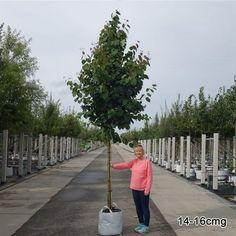 Cercidiphyllum japonicum | Buy Katsura Trees | Caramel Tree