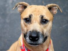 TO BE DESTROYED - 09/18/14 Manhattan Center -P  My name is SEAHAWK. My Animal ID # is A1013301. I am a female tan and white pit bull mix. The shelter thinks I am about 2 YEARS old.  I came in the shelter as a STRAY on 09/07/2014 from NY 10458, owner surrender reason stated was STRAY.