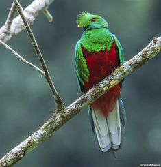 Crested Quetzal (Pharomachrus antisianus) by Nick Athanas.