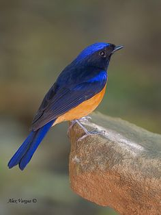 This is an adult male rufous-bellied niltava, Niltava sundara, a member of Muscicapidae, the chats and Old World flycatchers. This species is very similar to the small niltava, N. macgrigoriae, with nearly identical colouring and patterning of the upperparts, but the male rufous-bellied niltava is considerably, and has orange underparts (small niltava has grey-blue underparts).  Photo by Alex Vargas