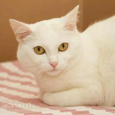 Hi, my name is Lila. I am 2 1/2 year old gorgeous beauty. I arrived at the shelter as a stray and can you believe no one came looking for me. I love petting and attention. I'm not into the party scene though and would probably do best in a more laid back relaxed home environment. I prefer a lazy afternoon cuddling on the couch any day. Do you have room on your couch for one more? Please consider adopting me today.
