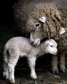 "▷ 1001 + Pictures and interesting facts about ""Cute .- ▷ 1001 + Bilder und interessante Fakten zum Thema ""Niedliche Tiere- Mutterliebe im Tierreich"" Sheep and lamb, mother and baby, the world& cutest baby animals numerous pictures -"