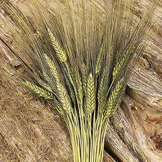 Green Blackbeard Wheat Bunches, available in cases of 20 at Branches Wholesale.