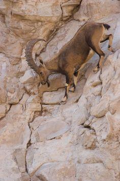 The Nubian ibex is a desert-dwelling goat species found in mountainous areas of Israel, Jordan, Saudi Arabia, Oman, Egypt, Ethiopia, Eritrea, Yemen, and Sudan.