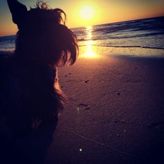 The mysterious case of the one-eared Scottie #scottishterriers #scottydogs #scotties