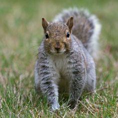 grey squirrel essay