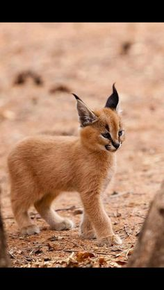 """The caracal is a medium sized cat which it spread in West Asia, South Asia, and Africa. The word Caracal is from Turkey """"Karakulak"""" which means """"Black Ears"""". Here is all about caracal as a pet. Baby Caracal, Caracal Kittens, Baby Bobcat, Lynx Kitten, Lynx Lynx, Caracal Caracal, Beautiful Cats, Animals Beautiful, Beautiful Pictures"""