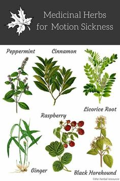 Herbal Medicine motion sickness herbs - Information on the Health Properties, Benefits, Side Effects and Practical Uses of Medicinal Herbs for Motion Sickness Treatment and Relief Healing Herbs, Medicinal Plants, Natural Healing, Natural Life, Herbal Plants, Natural Living, Natural Health Remedies, Herbal Remedies, Cold Remedies